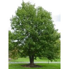 Явор обикновен  / Acer pseudoplatanus