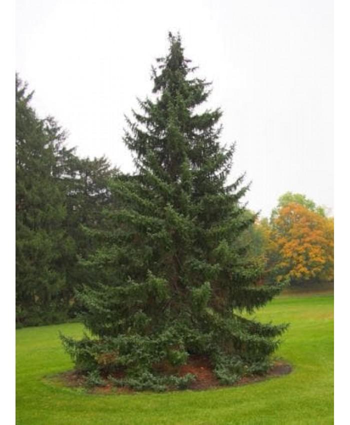 Сръбски смърч / Picea omorika