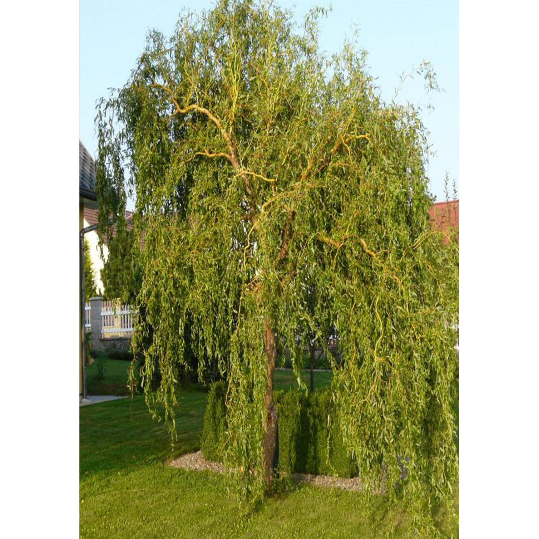 Манджурска върба / Salix matsudana