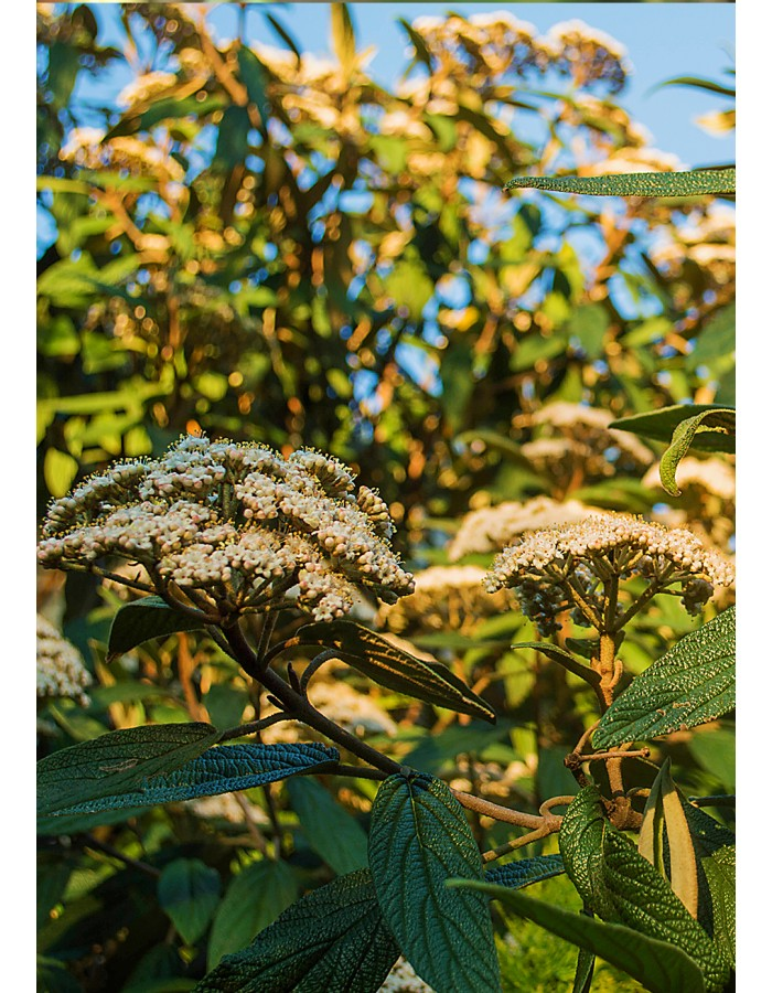Грапаволистна Калина / Viburnum rhytidophyllum