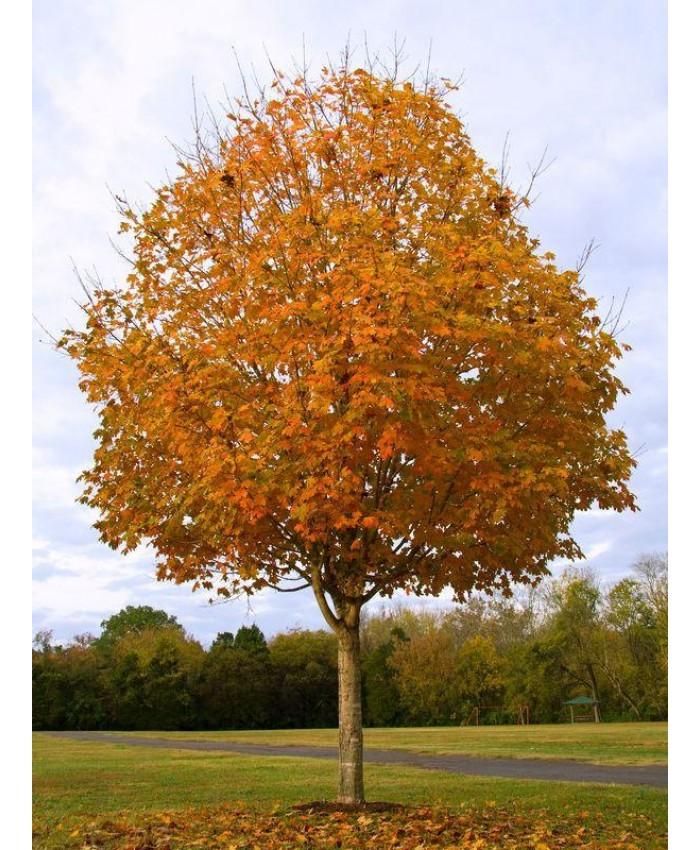 Явор сребрист (захарен) / Acer saccharinum