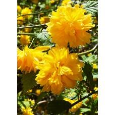 Керия / Kerria japonica
