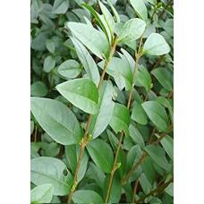 Лигуструм / Ligustrum ovalifolium
