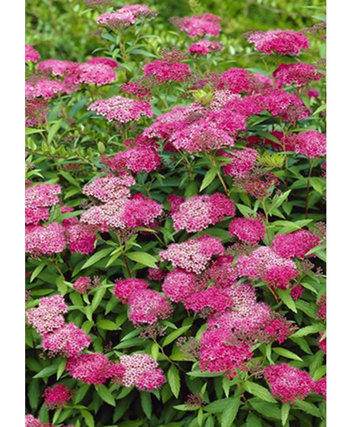"Спирея  / Spiraea japonica ""Anthony Waterer"""