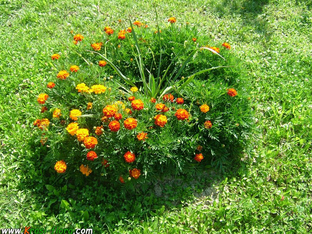 О цветах и растениях Шефлера цветок уход в домашних